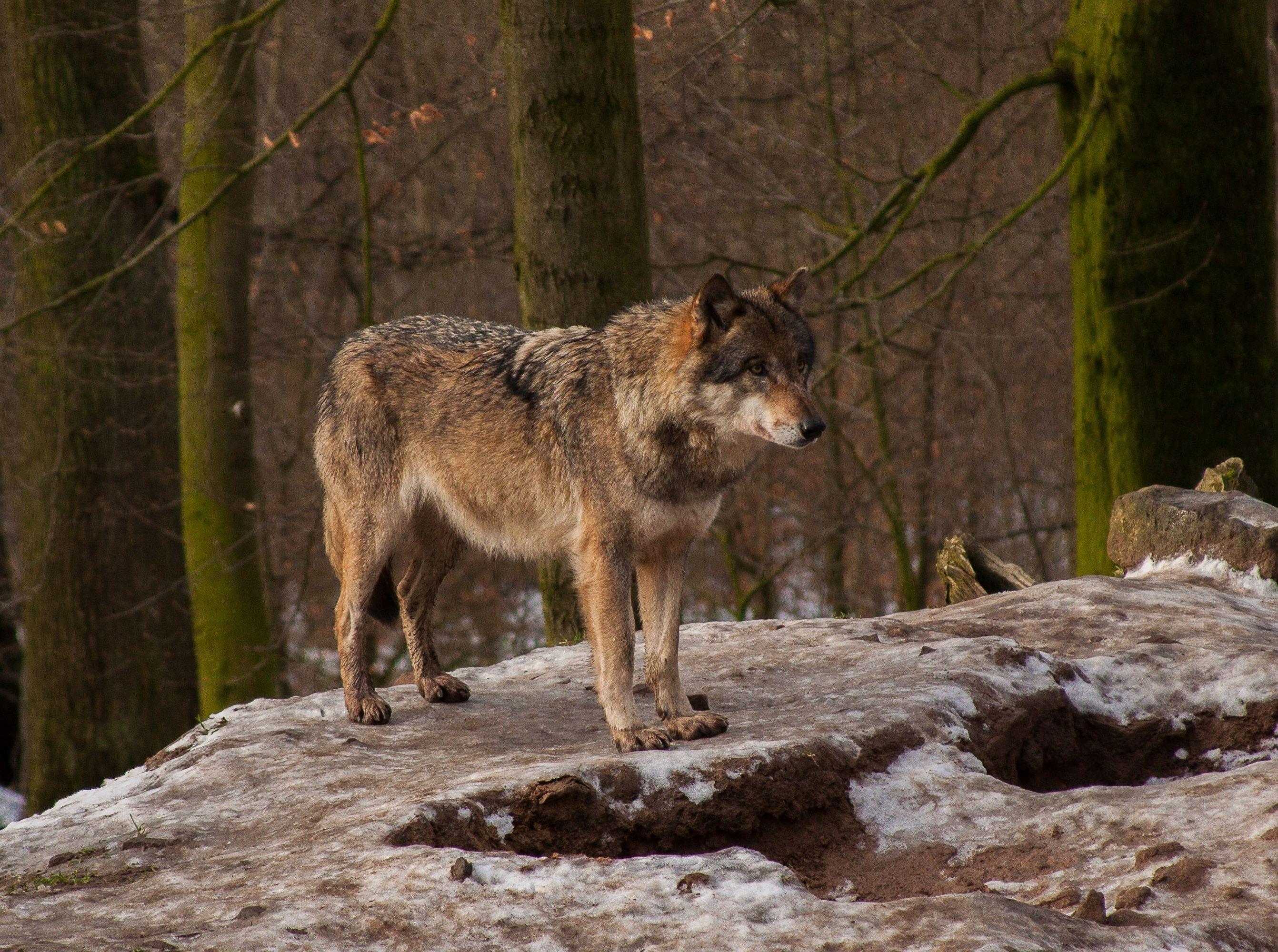 wolf ins jagdrecht